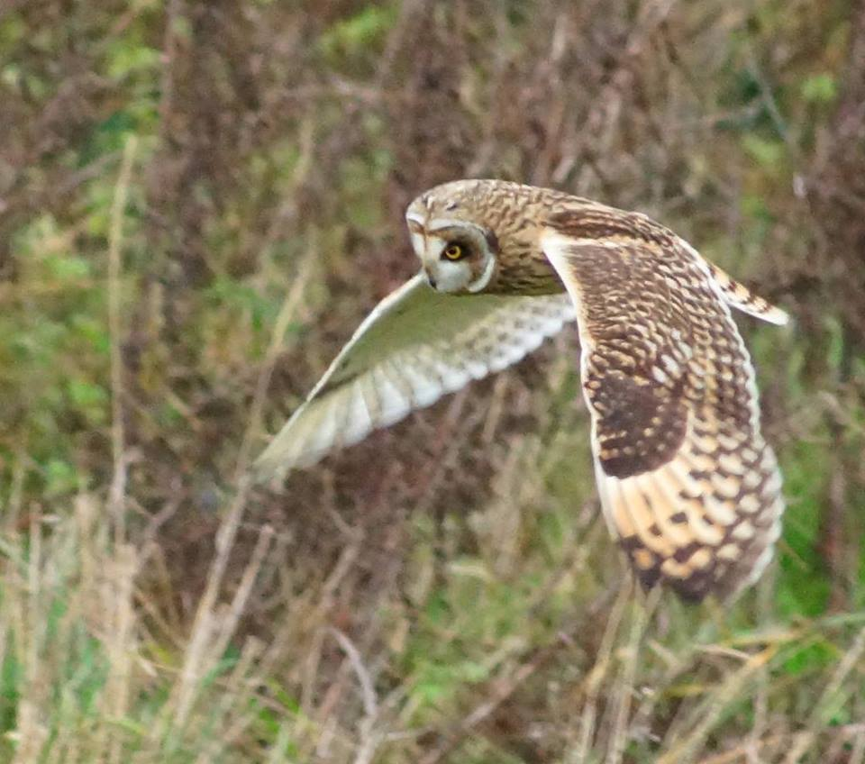 A short-eared owl at Medmerry Harbour