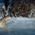 A trout takes a fly