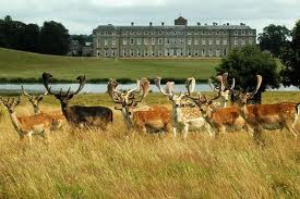 Petworth House.fallowdeer