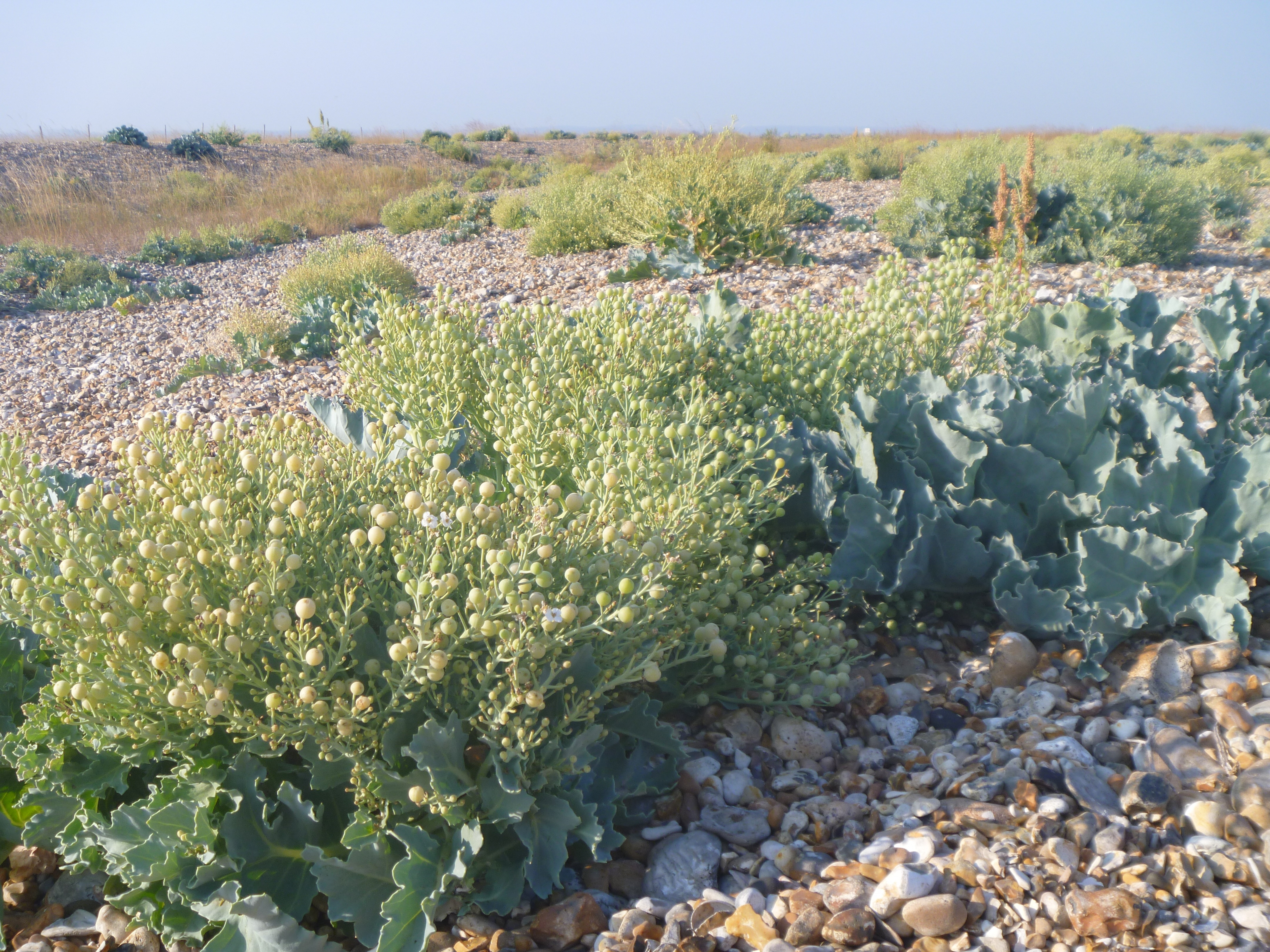 close up of sea kale berries