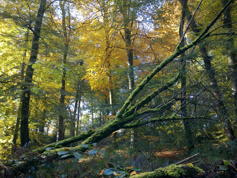 Full grown beech trees.fullcircle1500px